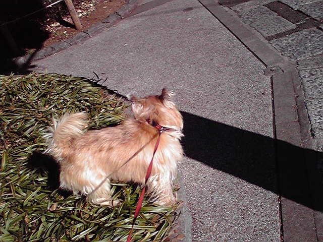 1月7日松が明けた犬