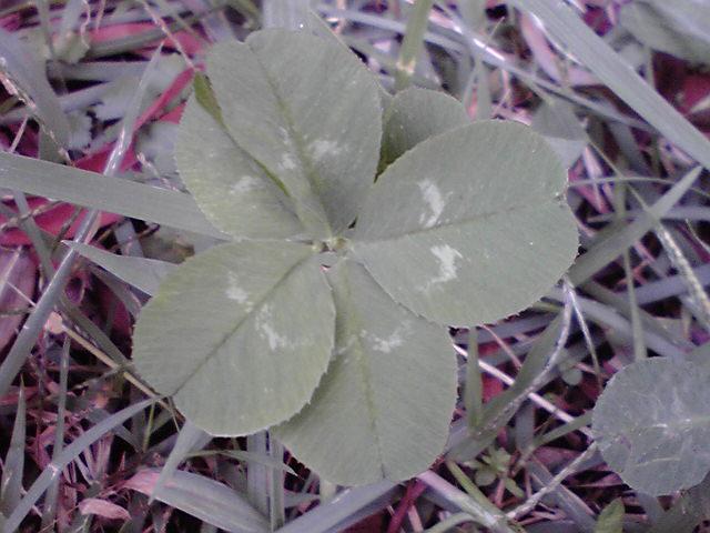 10月7日6つ葉のクローバー