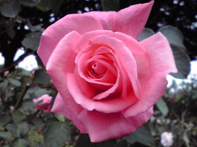 10月25日薔薇犬