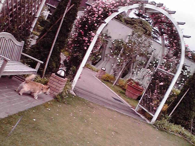 5月23日バラの門犬