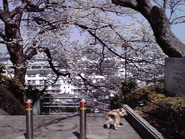 4月9日満開犬