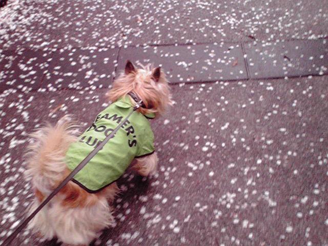 4月11日花嵐犬