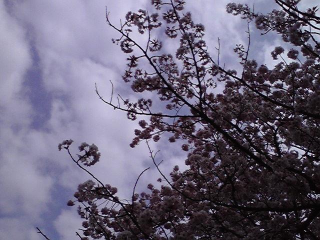 4月19日観桜犬