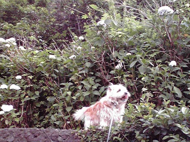 8月11日梅雨犬