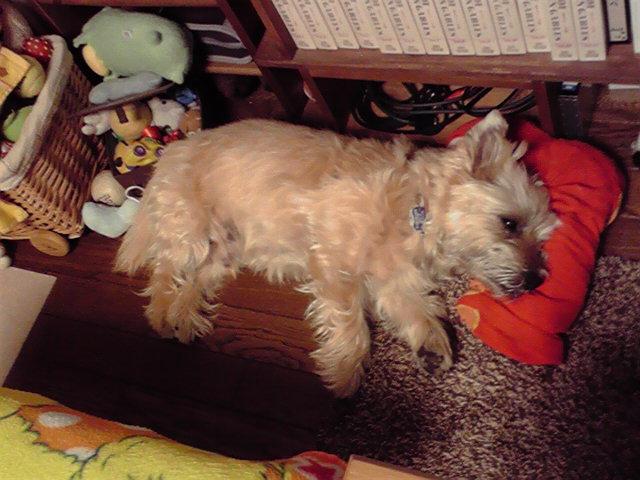 9月8日寝る犬
