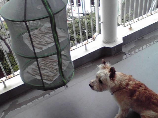 7月13日ジャーキー犬