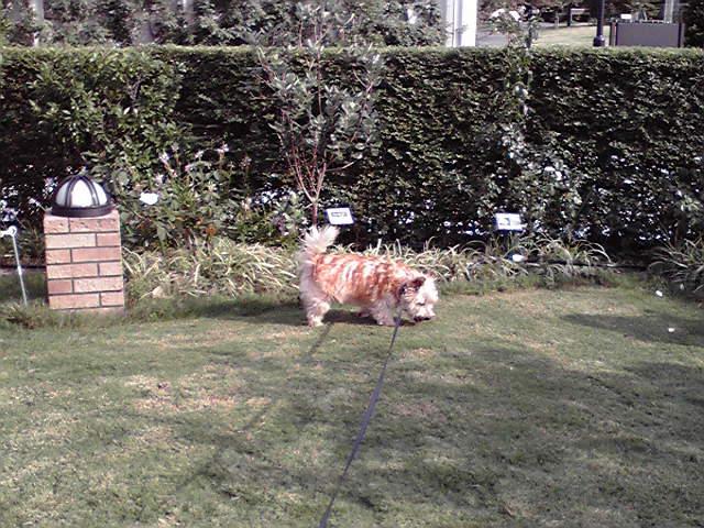9月6日涼しい犬